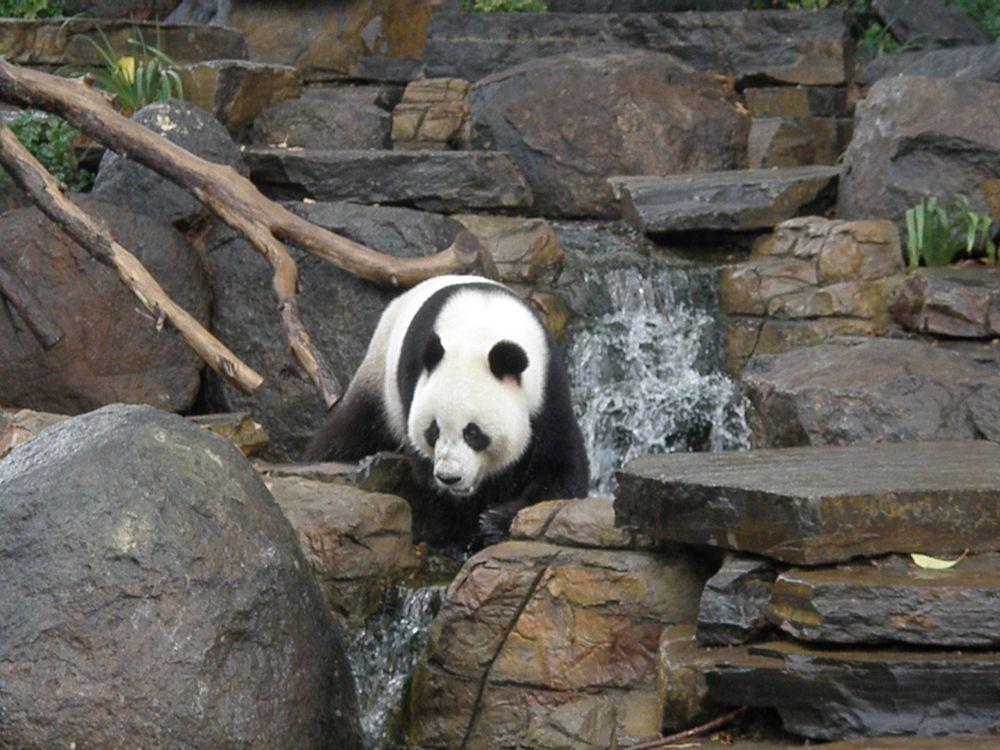 Panda in Adelaide Zoo
