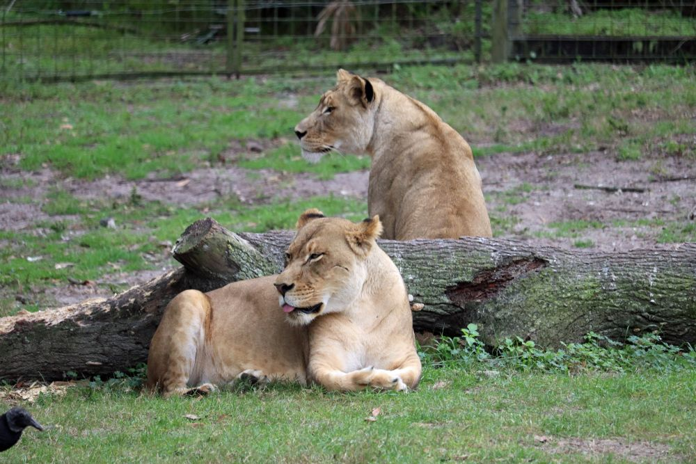 Lions at Jacksonville Zoo and Gardens