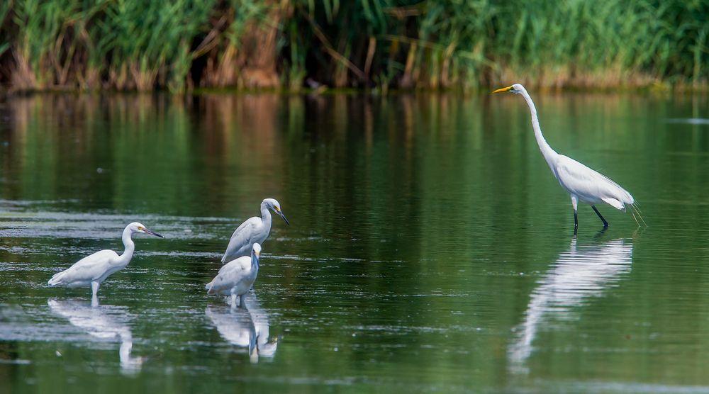 Egrets at Jamaica Bay Wildlife Refuge