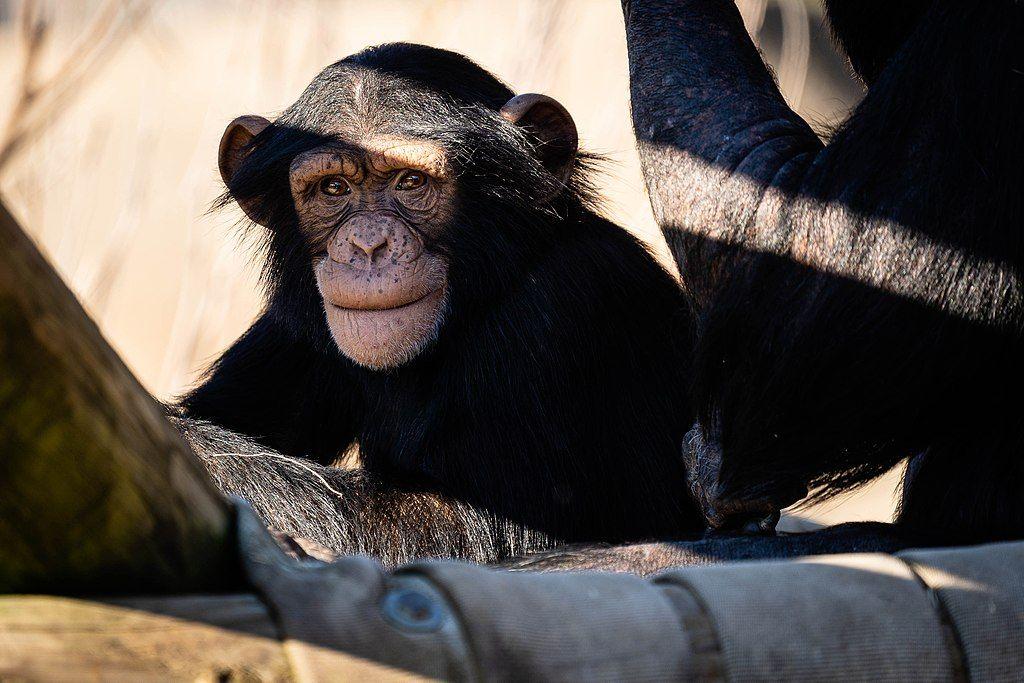 Chimpanzee at Little Rock Zoo