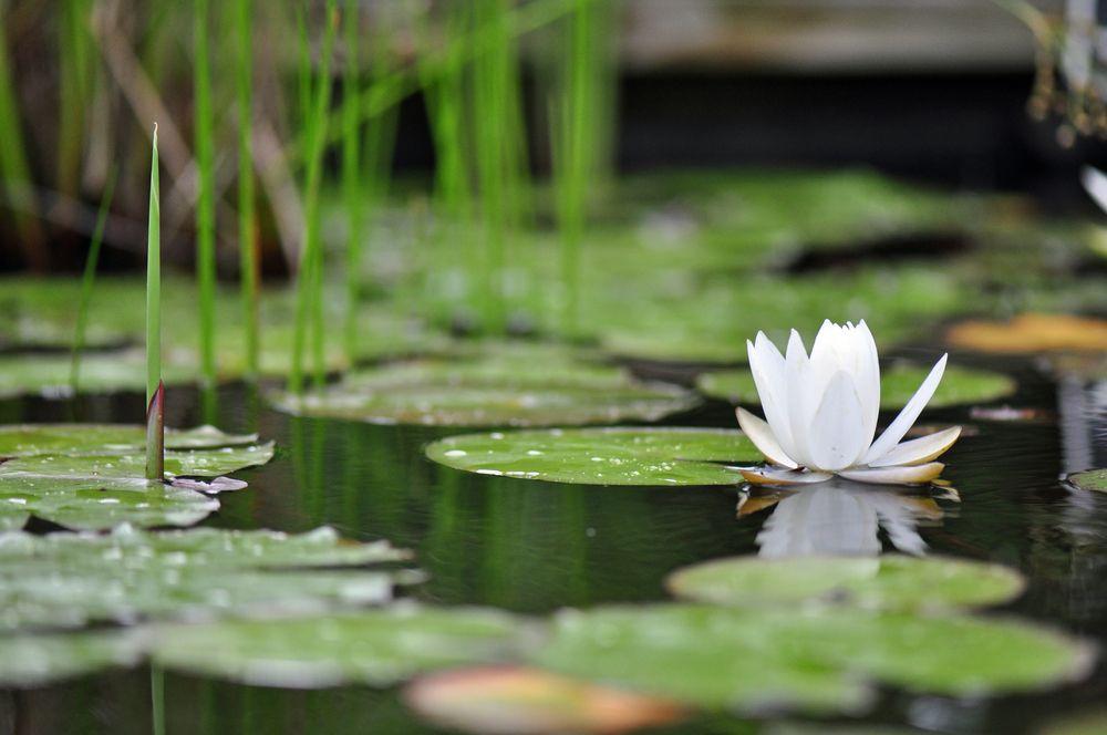 Lily pads after rain at North Carolina Botanical Gardens