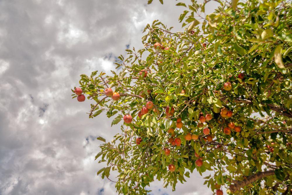 Apple orchards in Julian