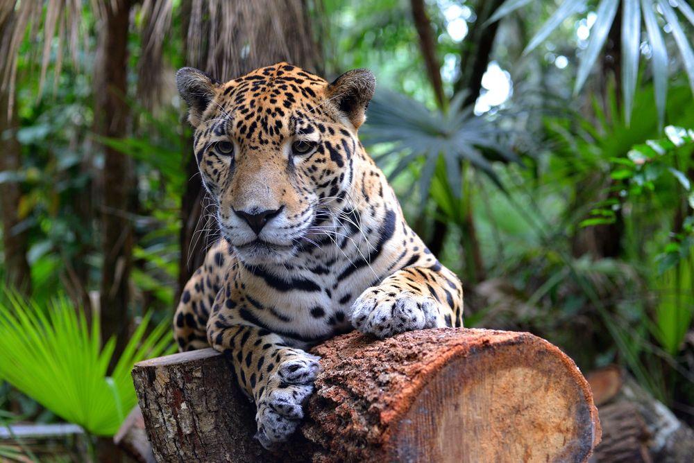 Jagura at Belize Zoo