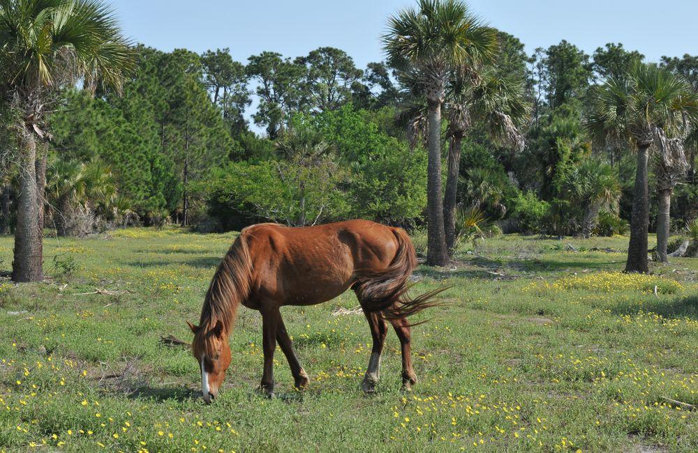 Wild horse grazing in Cumberland Island