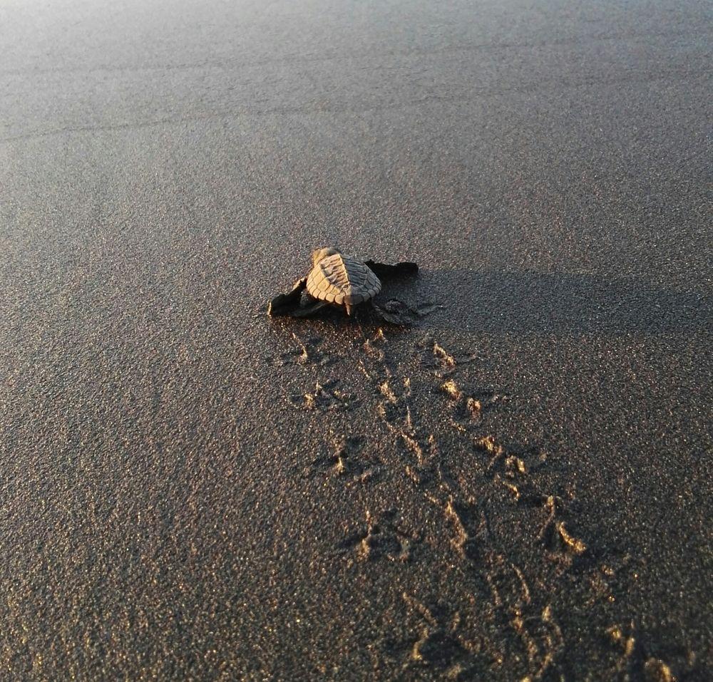 Baby turtle at El Paredon