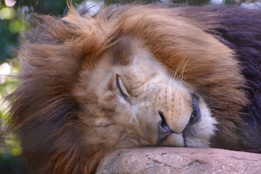 Sleeping lion at Greenville Zoo