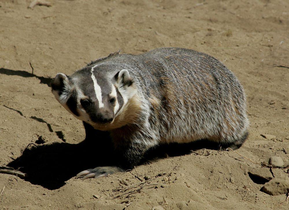 Badger in High Desert Museum