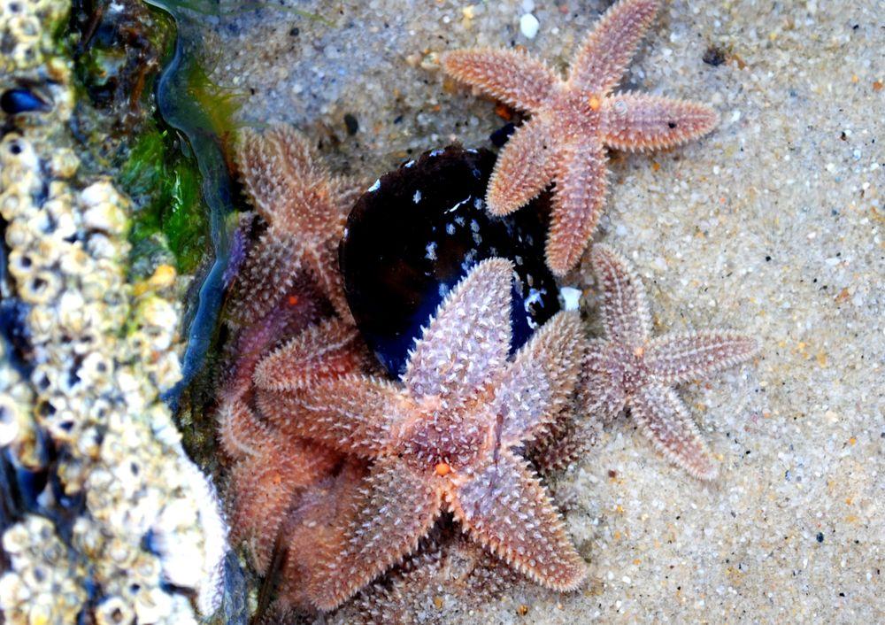 Star fishes at Monomoy National Wildlife Refuge