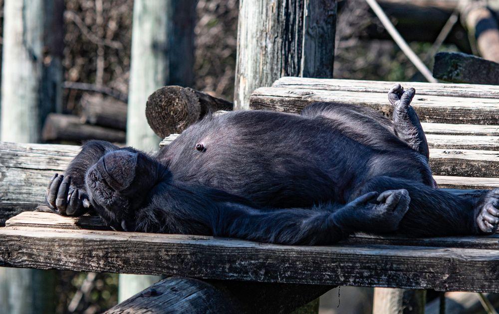 Chimpanzee napping at Montgomery Zoo