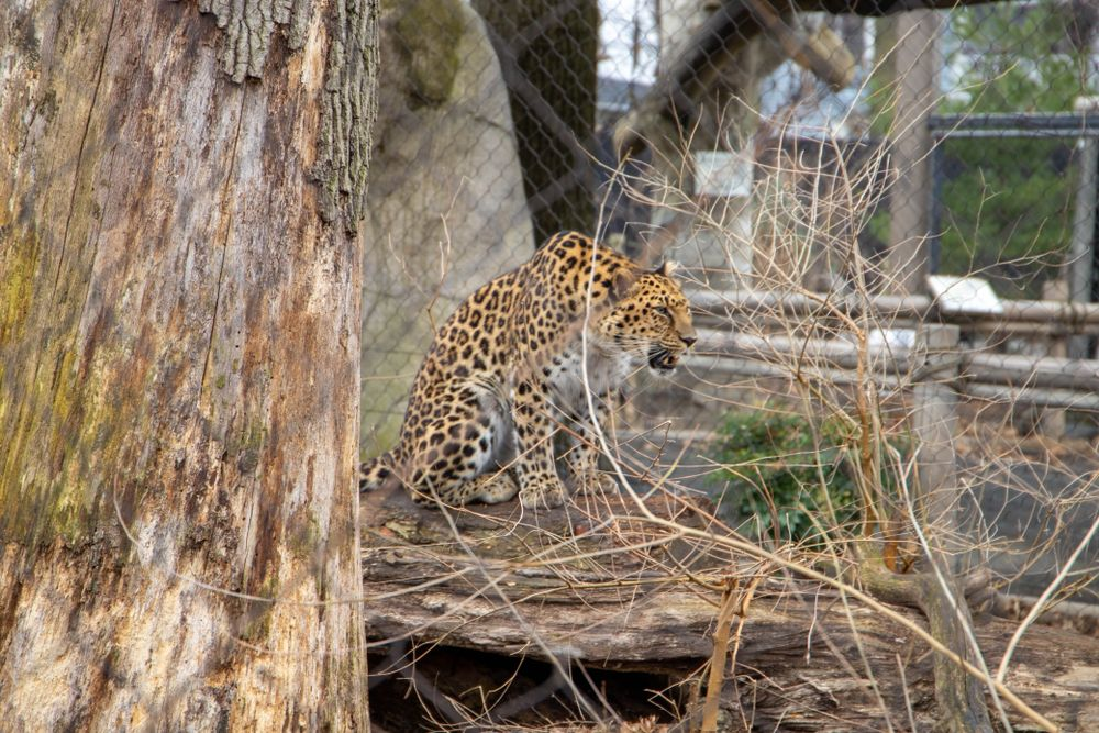 Cheetah in Staten Island Zoo
