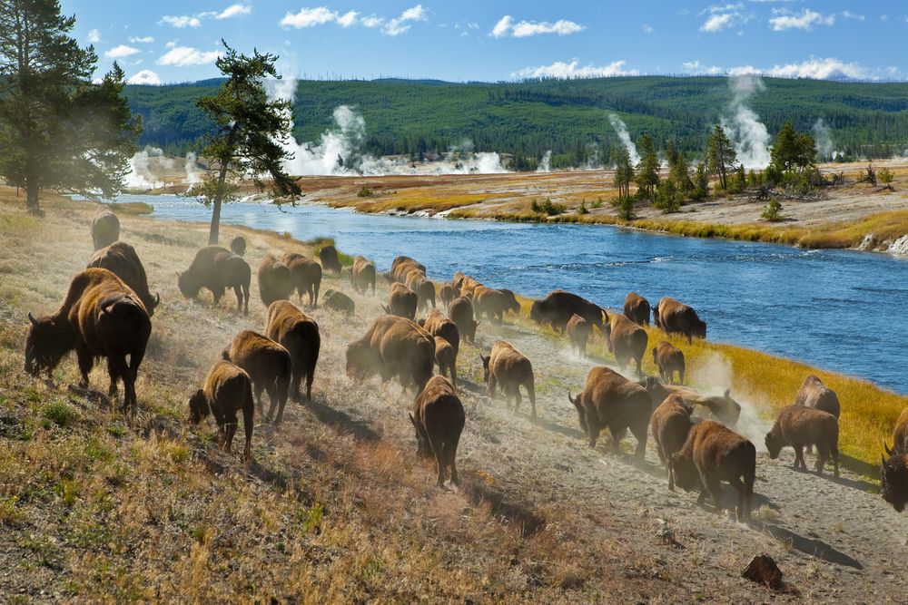 Bisons near Firehole river in Yellowstone National Park