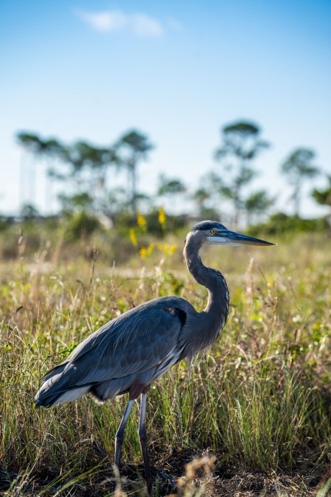 Pelican at Big Lagoon