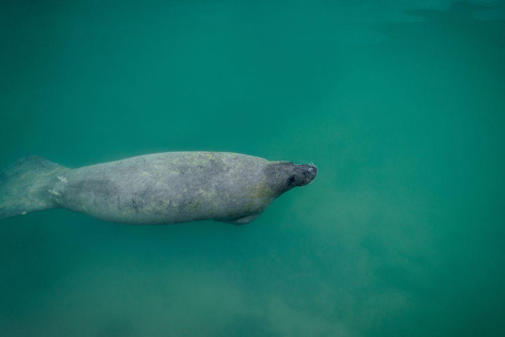 Manatee at Biscayne National Underwater Park