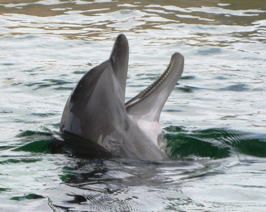 A dolphin in Clearwater Marine Aquarium