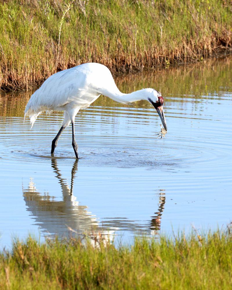 Crane in Aransas Wildlife Refuge