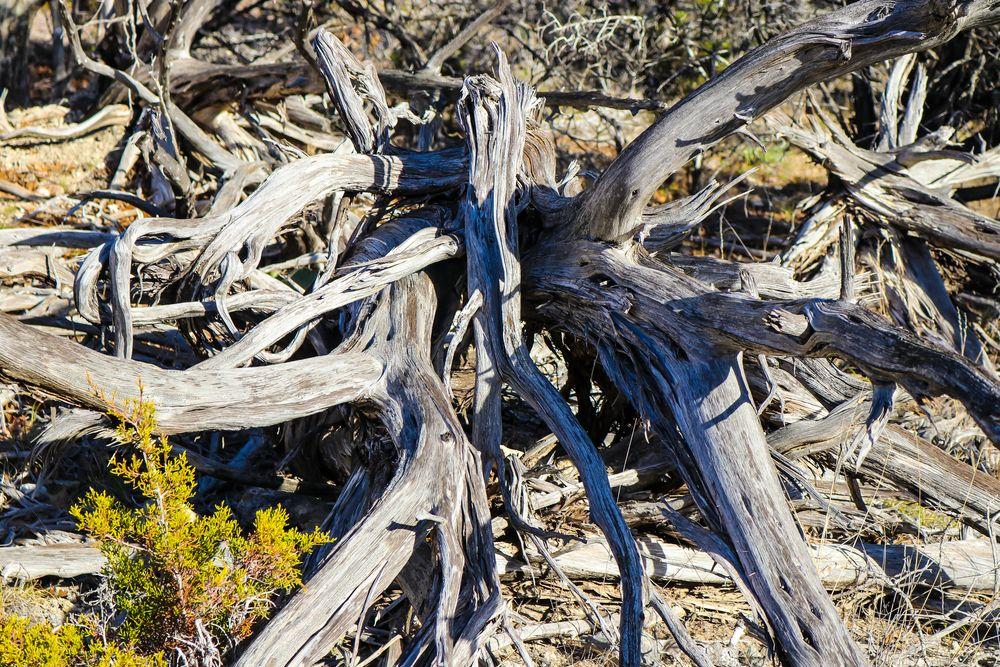 Bleached wood in Dana Peak Park