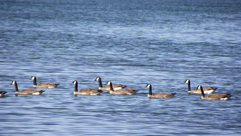 Geese in Lake Atlanta