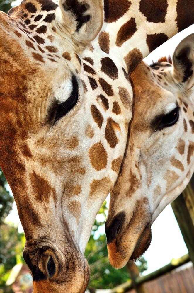 Giraffe at Gulf Breeze Zoo