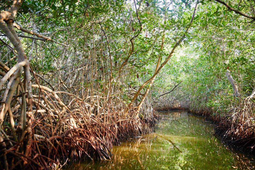 La Boquilla and the Mangroves
