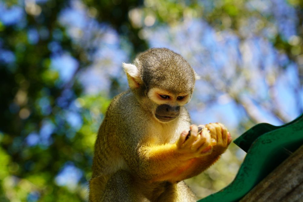 Monkeys at Monkey Jungle