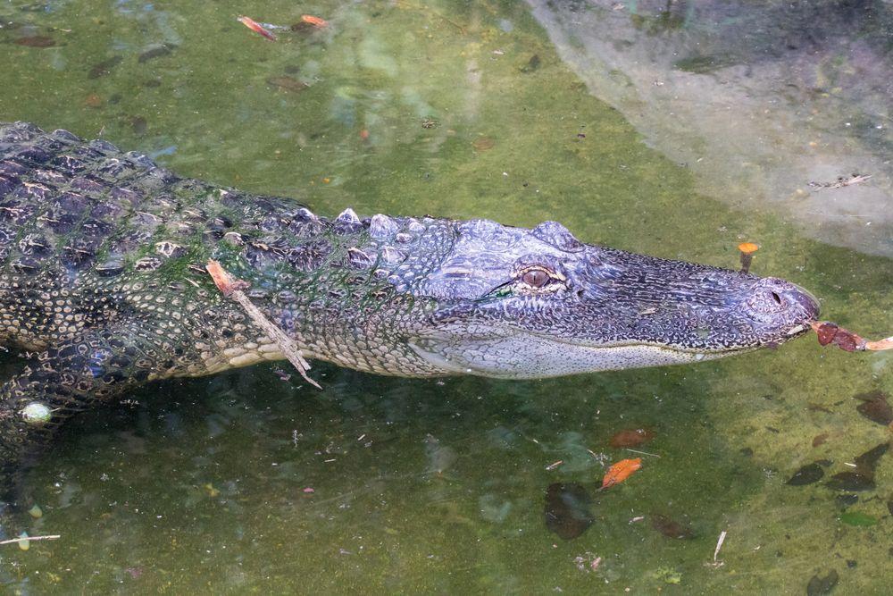 Alligator in Texas Zoo