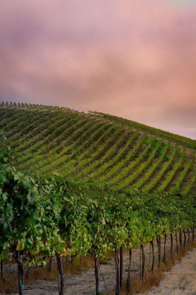 Vineyard in Yakima Valley