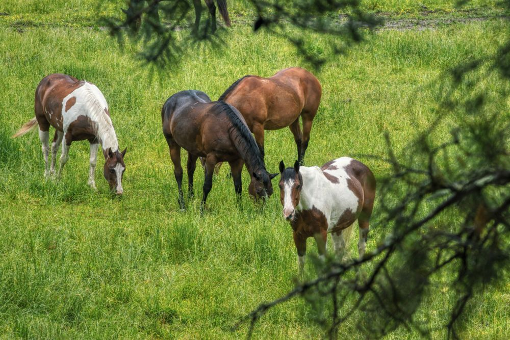 Horses in Great Smoky Mountains of Tennessee