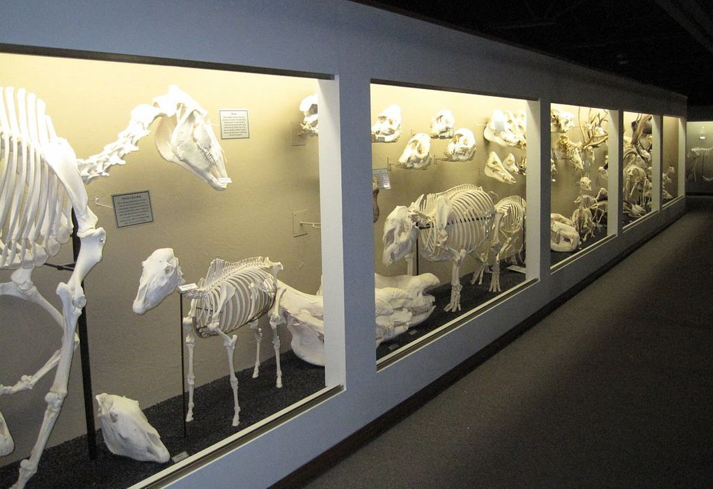 Ungulate  Skeletal Structures at Museum of Osteology