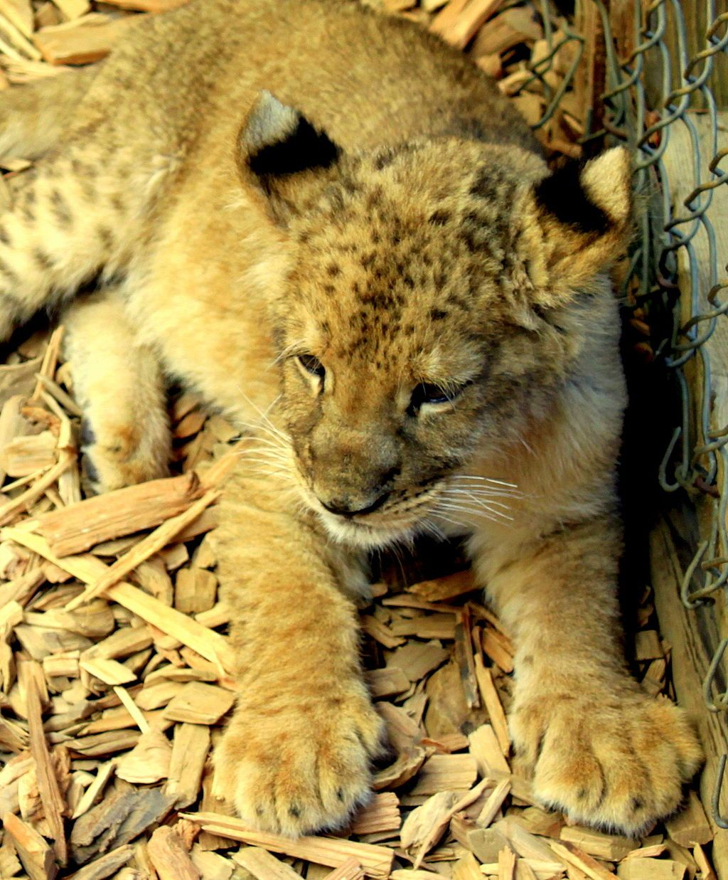 A Lion in West Coast Game Park Safari