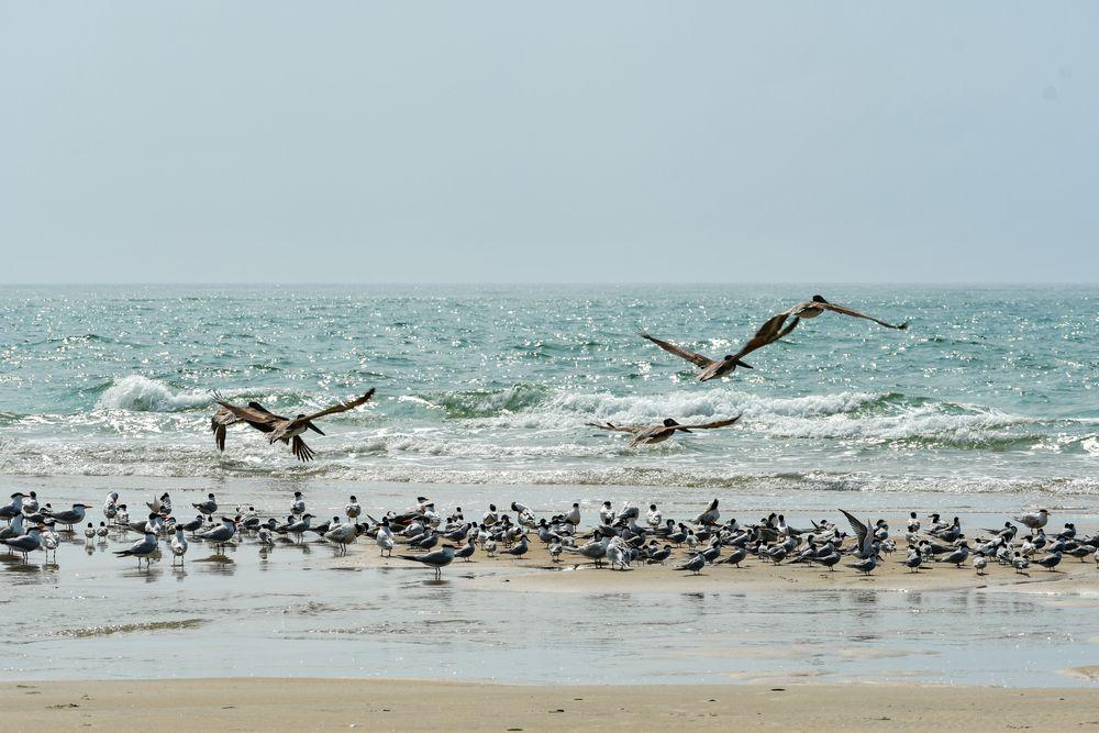 Pelicans in Cape Lookout