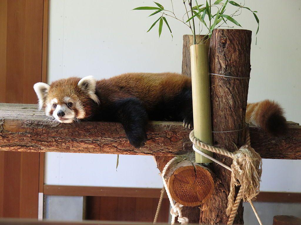 Red baby panda at Chausuyama Zoo