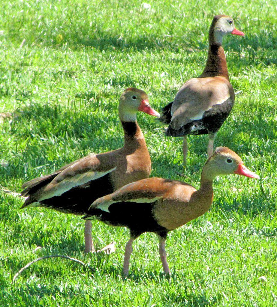 Ducks at Clark Gardens