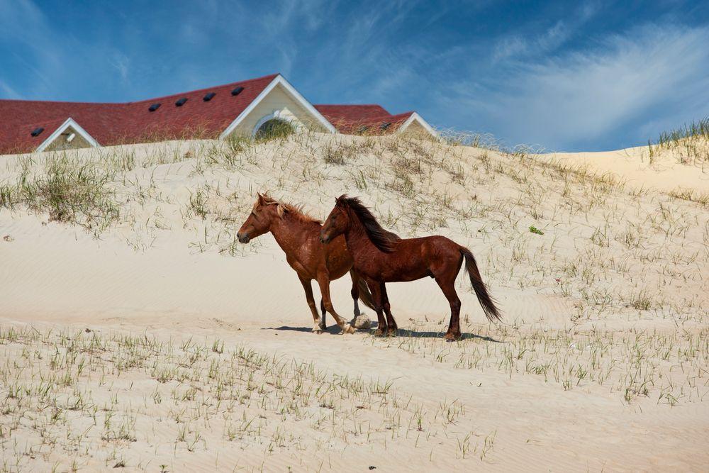 Corolla Beach Wild Horses
