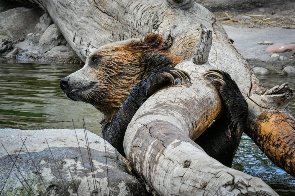 Grizzly bear in Hogle Zoo