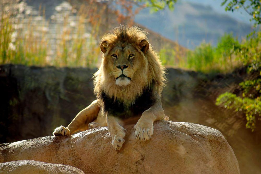 Lion at Hogle Zoo