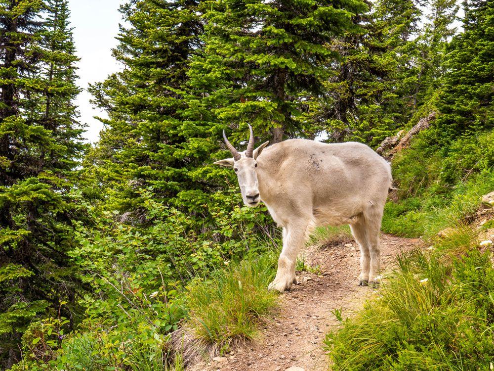 Mountain goat in Jewel Basin
