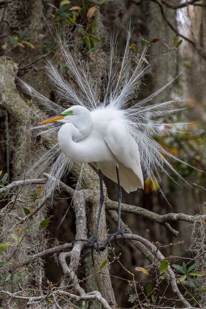 Great Egret at Kraft Azalea Gardens