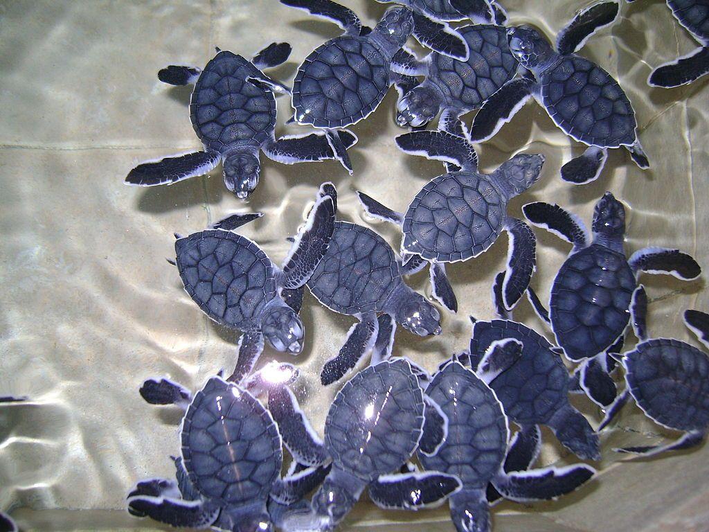 Turtles at La Tortuga Granja