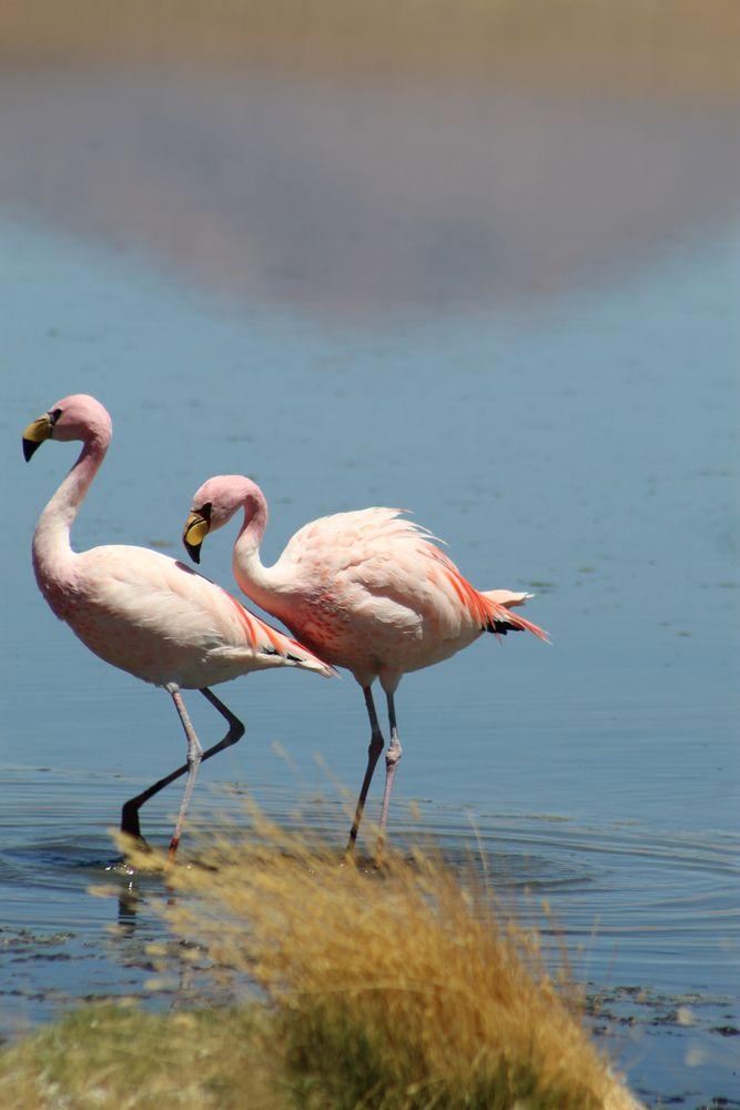 Flamingo at Laguna Colarada