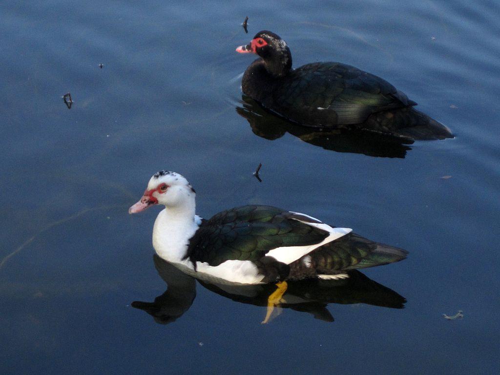 Duck at Lake Biggins in Huntington Park