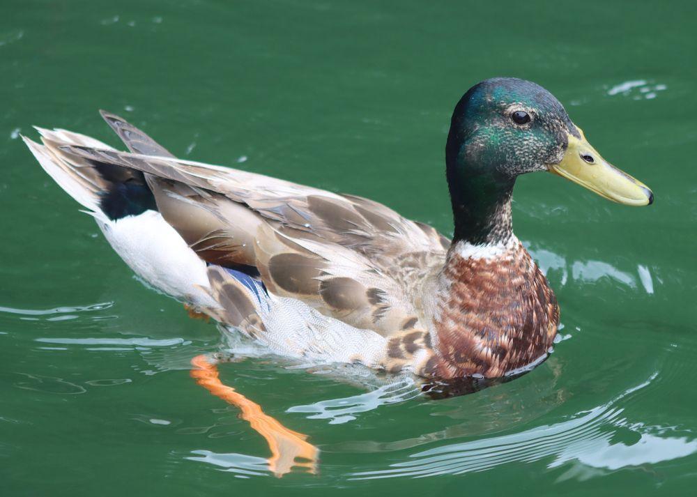 Mallard Swimming in Lake Glenville