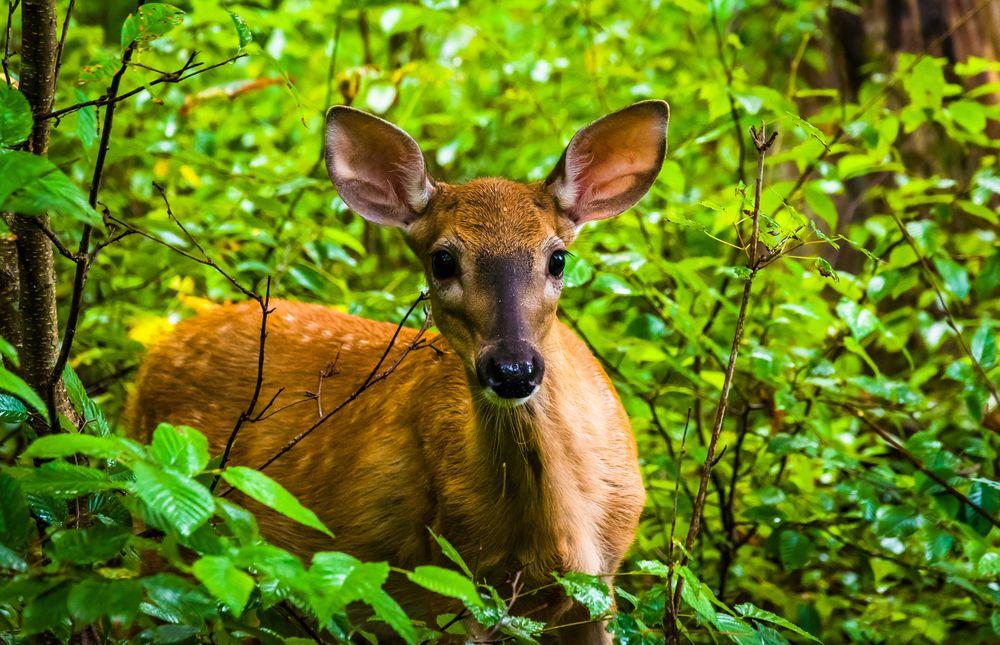 Deer in Limberlost Trail