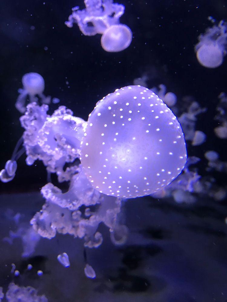 Jelly fish in NC Aquarium