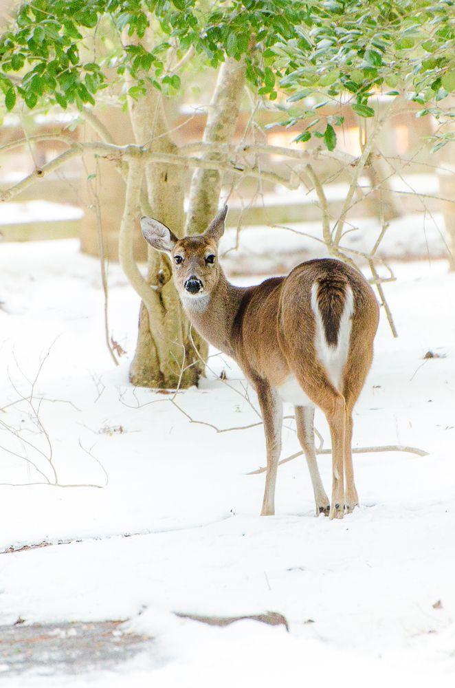 Deer at Newport News Park