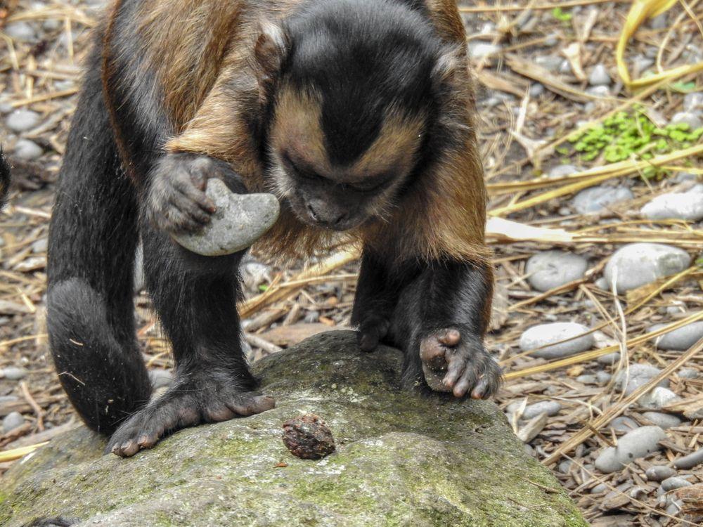 Capuchin monkey at Orana Wildlife Park