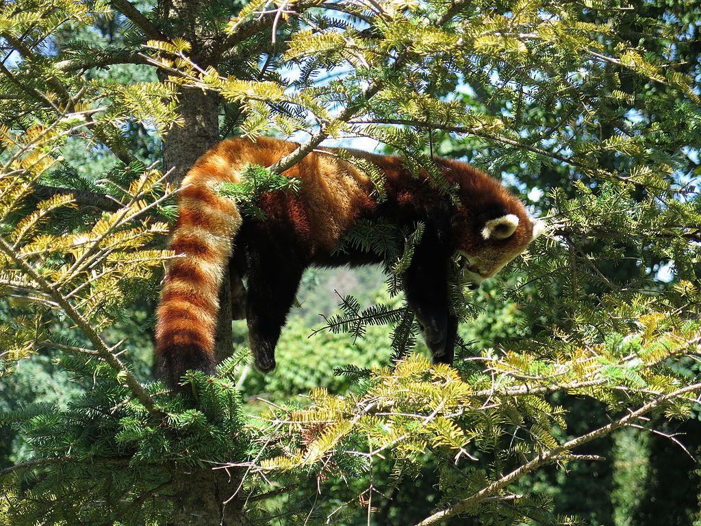 Red Panda at Chausuyama Zoo