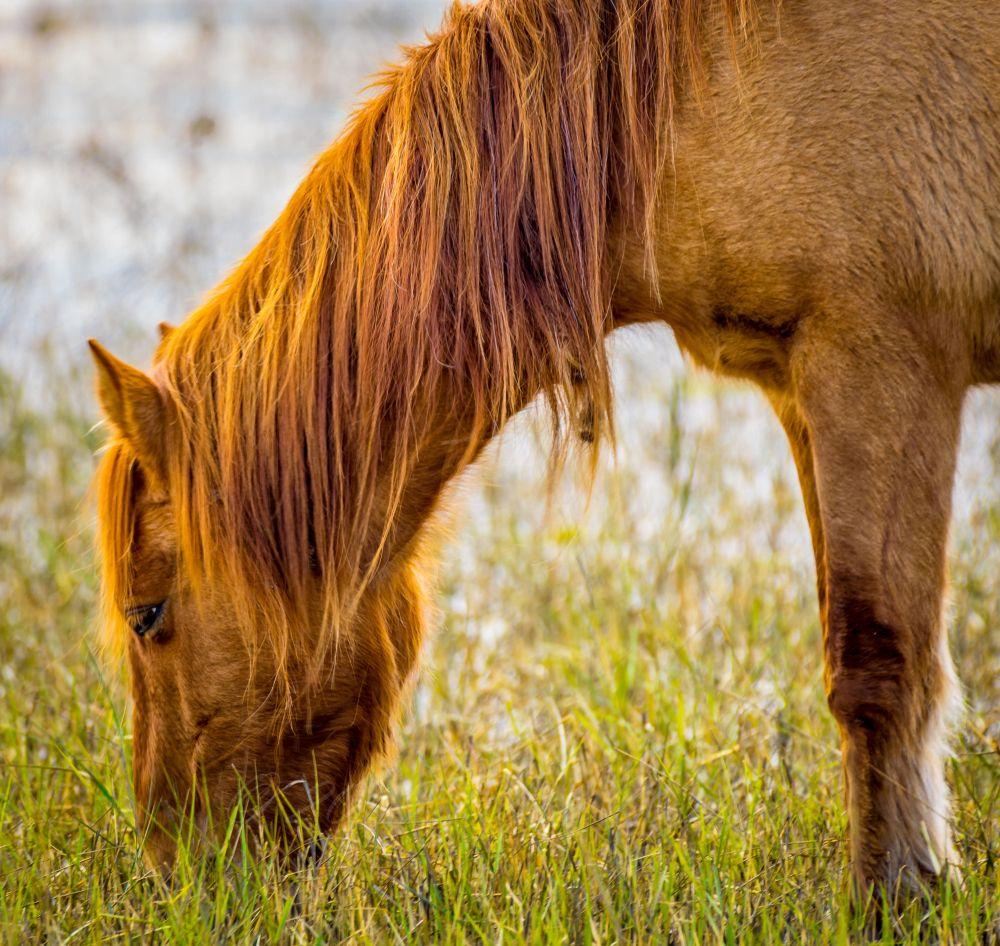 Wild horse in Shackleford Banks