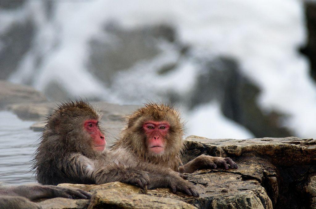 Snow Monkeys bathing at Jigokudani Yaen Kōen