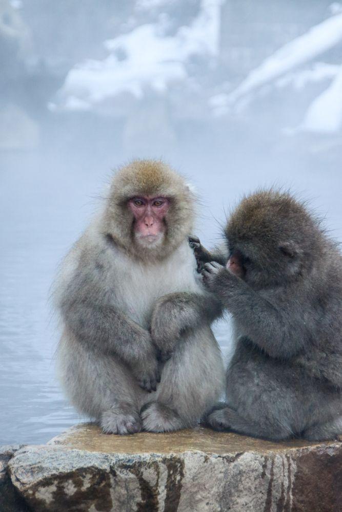 Snow Monkeys of Jigokudani Yaen Kōen