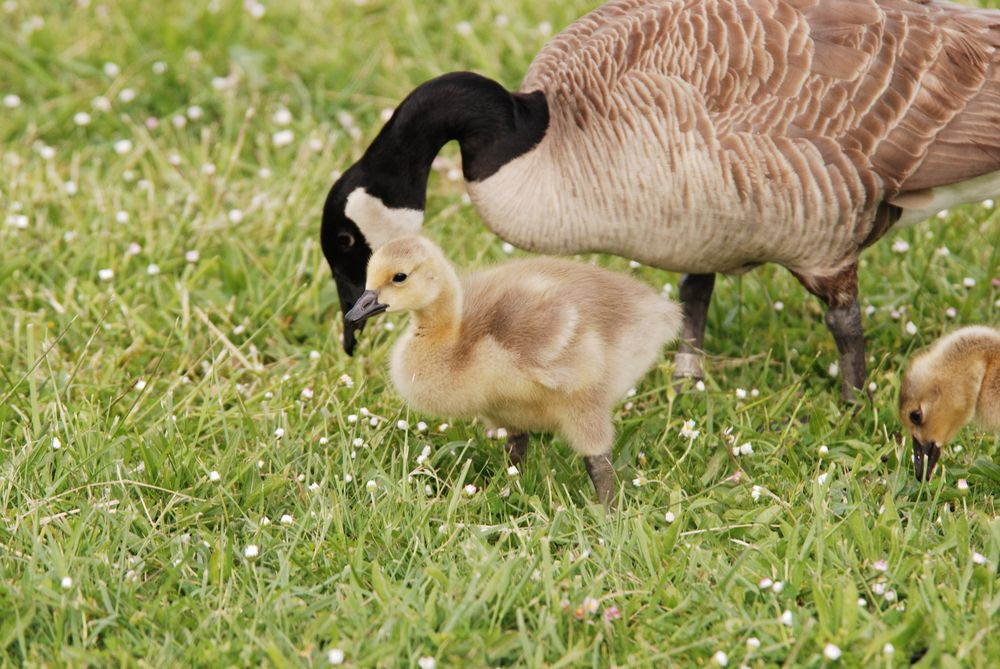 Canada Geese and Goslings at Stewart Park